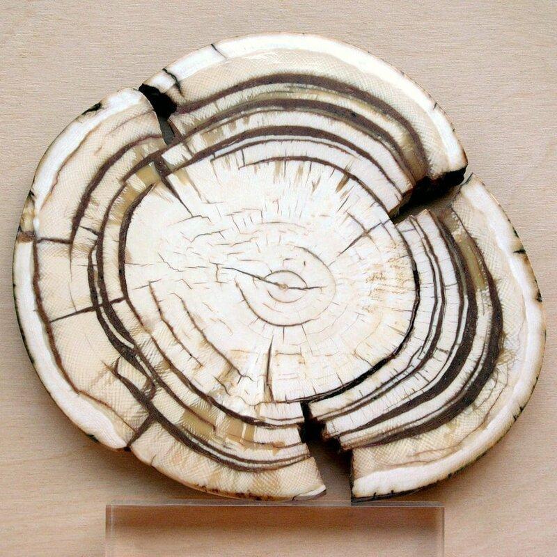 10. Бивень мамонта в разрезе вещи, внутри, изнутри, подборка, разрез, фото