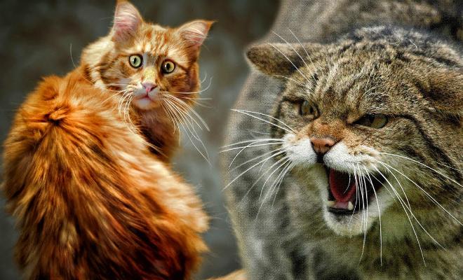 Кошку одомашнивали дважды — впервые 9,5 тысяч лет назад Культура