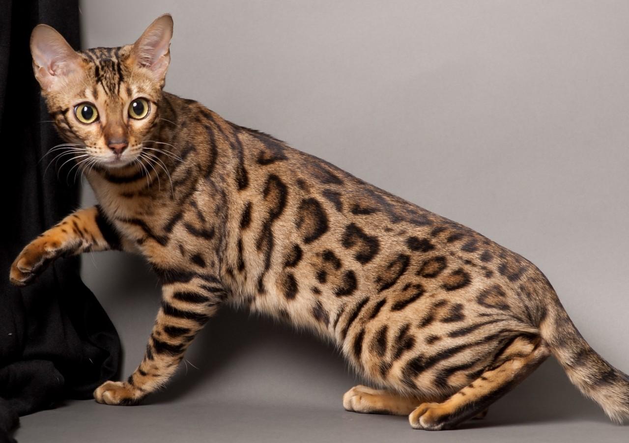 Картинки дорогой породы кошек