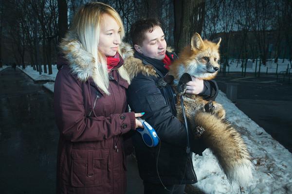 Каково это — жить в одной квартире с лисом