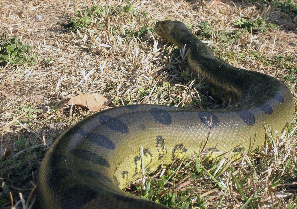 смотреть картинки змеи анаконды домашних