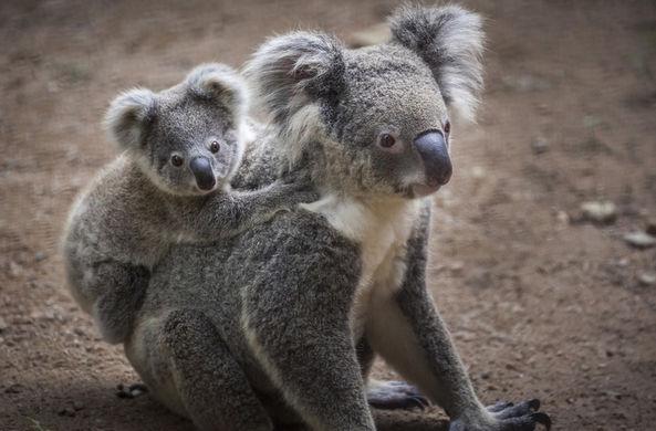 В Рождество австралийцев попросили усыновлять коал