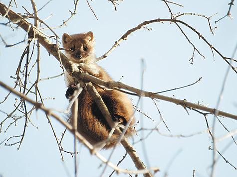 Ловля капканами: сколько веревочке не виться