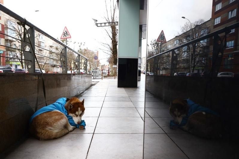 Русский Хатико: трогательная история про хаски в синем свитере из Калининграда хозяйка, сидит, рядом, появилась, записка, возле, собака, чтобы, которая, история, почему, каждый, Калининграде, никто, хозяйку, хозяйки, собакой, Светлана, порядке, словам