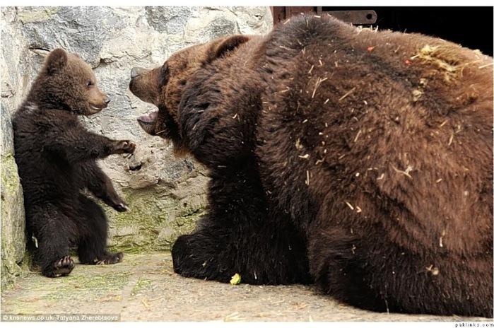 Настоящее воспитание по-медвежьи — это с мордобитием и лапоприкладством. А обнимашки - на сладкое!