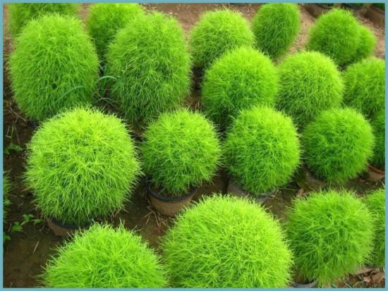 Кохия — «он же прутняк, он же изень»: посадка, выращивание и уход в открытом грунте