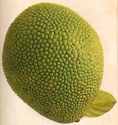 Джекфрут или индийское хлебное дерево.