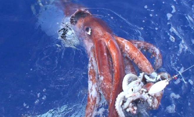 Камера впервые сняла, как гигантский кальмар охотится на глубине почти в километр