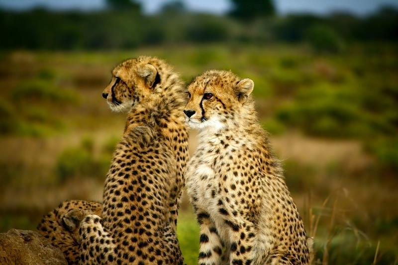 5 удивительных фактов о гепардах