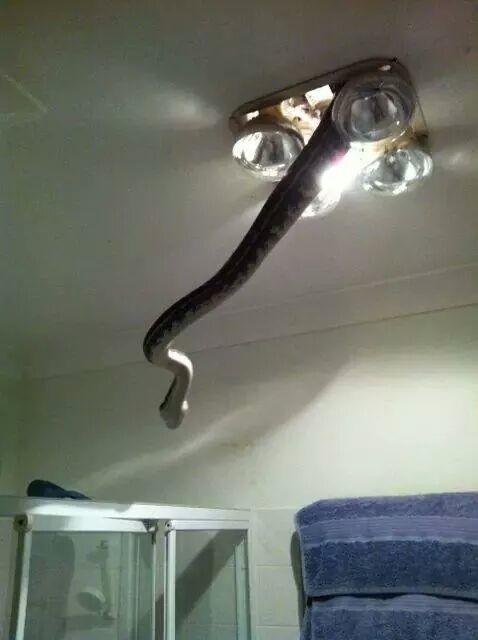 Если, конечно, не собираются зайти в гости через люстру австралия, змея