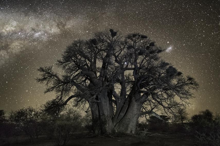 Фотограф показал самые старые деревья планеты на фоне звездного неба природа