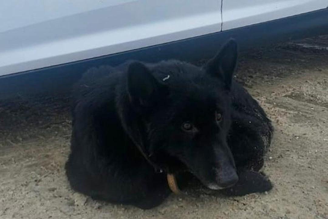 Пока инспекторы были в машине, найда лежала рядом. Фото: ГУ МВД России по Кемеровской области.