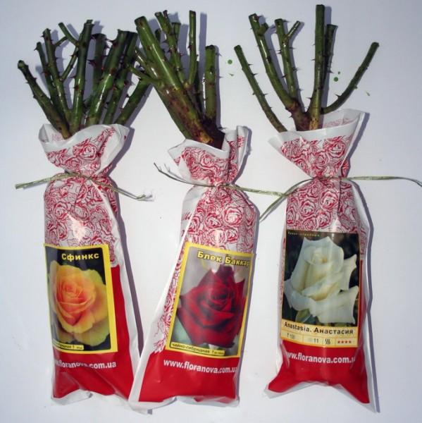 Розы: как выбрать качественный саженец