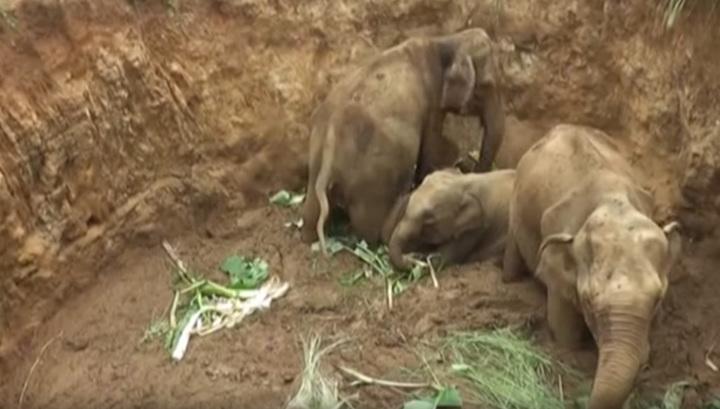 В Шри-Ланке семью слонов вытащили из ямы экскаватором