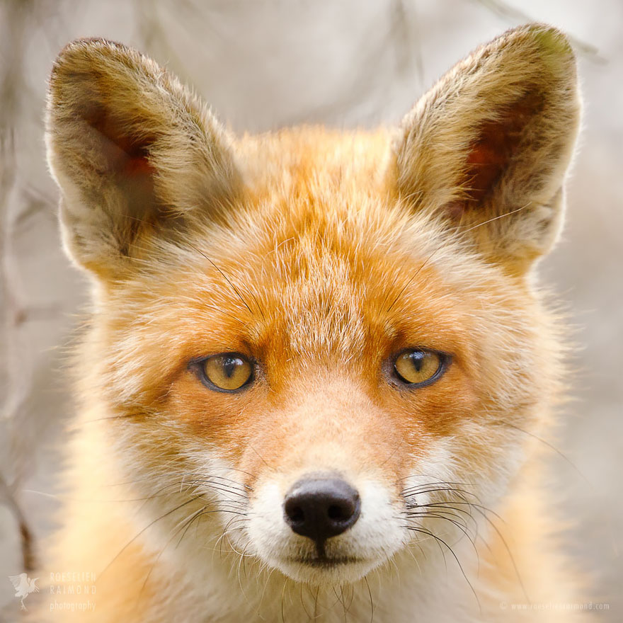 fox-faces-roeselien-raimond-red