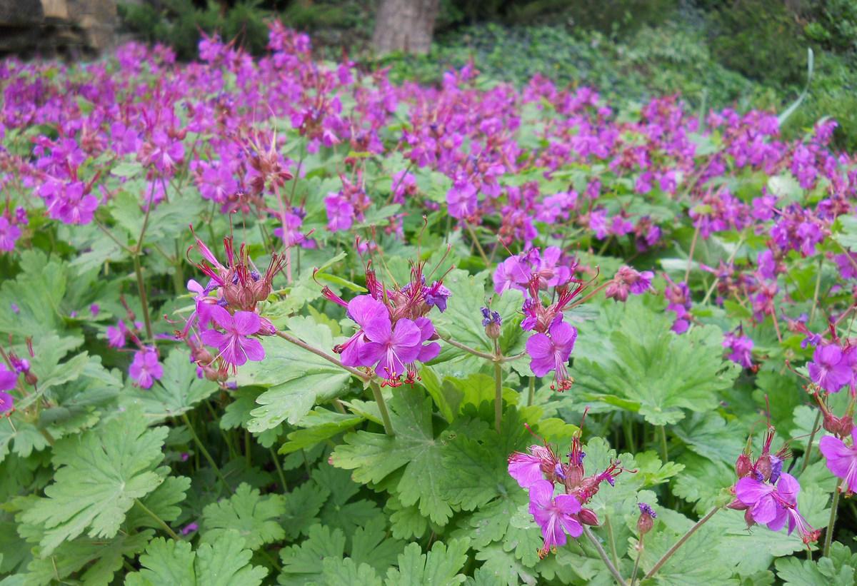 Почвопокровные многолетники: цветение весной дача,сад и огород,цветник,цветоводство
