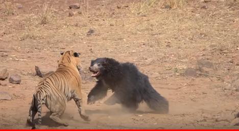 В Индии во время сафари засняли на видео схватку тигра и медведя-губача.