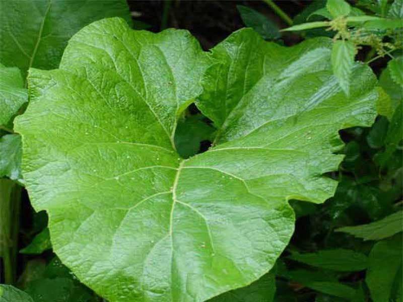Это натуральное средство эффективно при почечнокаменной болезни, диабете, подагре и ревматизме