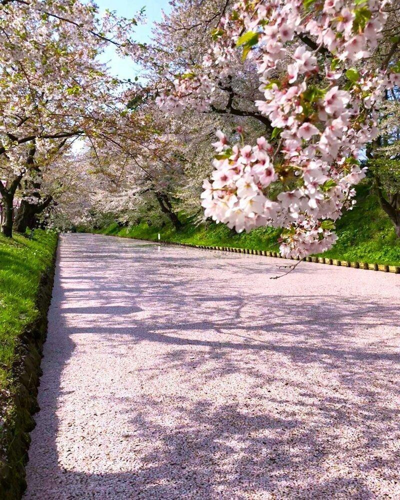 Опавшие лепестки вишни делают канал розовым катаклизмы, природа, растительность