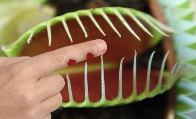 Что будет, если заснуть палец в мухоловку