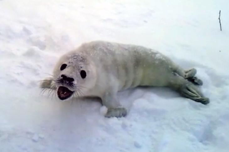Спасение отбившегося от мамы тюлененка