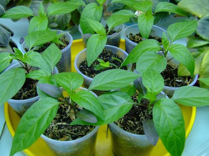 Как вырастить крепкую рассаду: советы опытного огородника