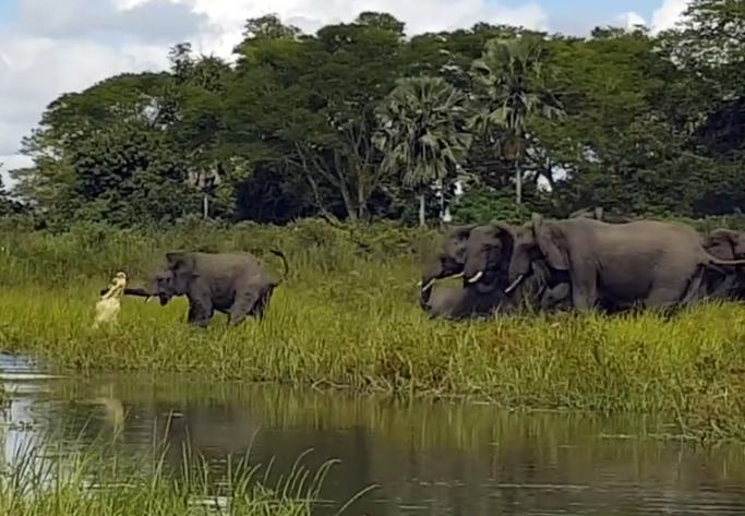 Слонёнку удалось отбиться от напавшего на него крокодила