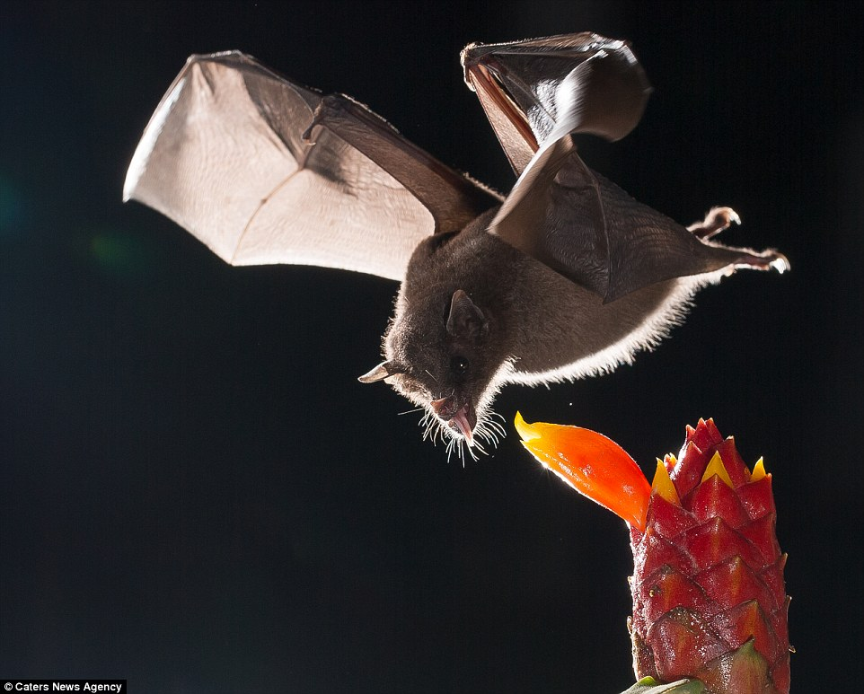 Taking a lick: A bat flicks out its long tongue as it nears a tasty-looking red and orange fruit, its leathery wings guiding it towards the prize