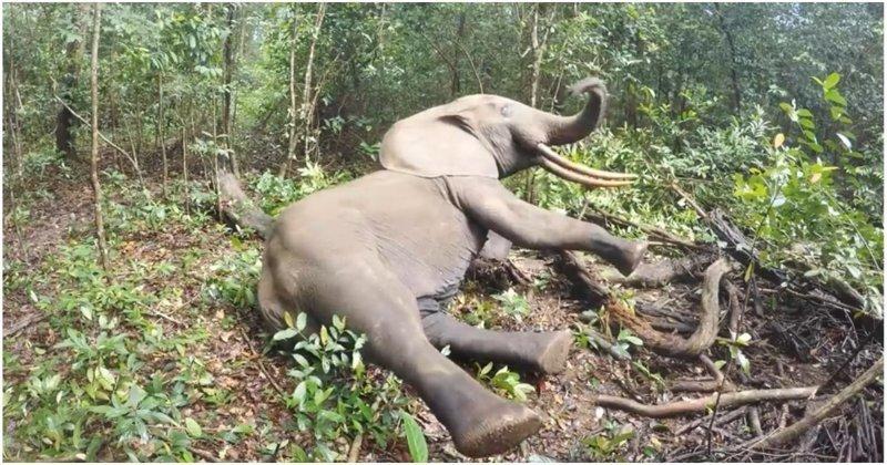 Слон просыпается после транквилизатора