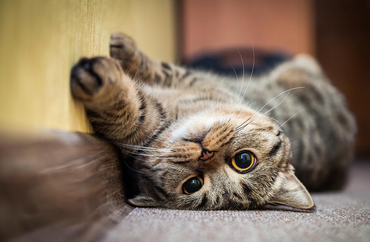 Почему и когда коты мурчат