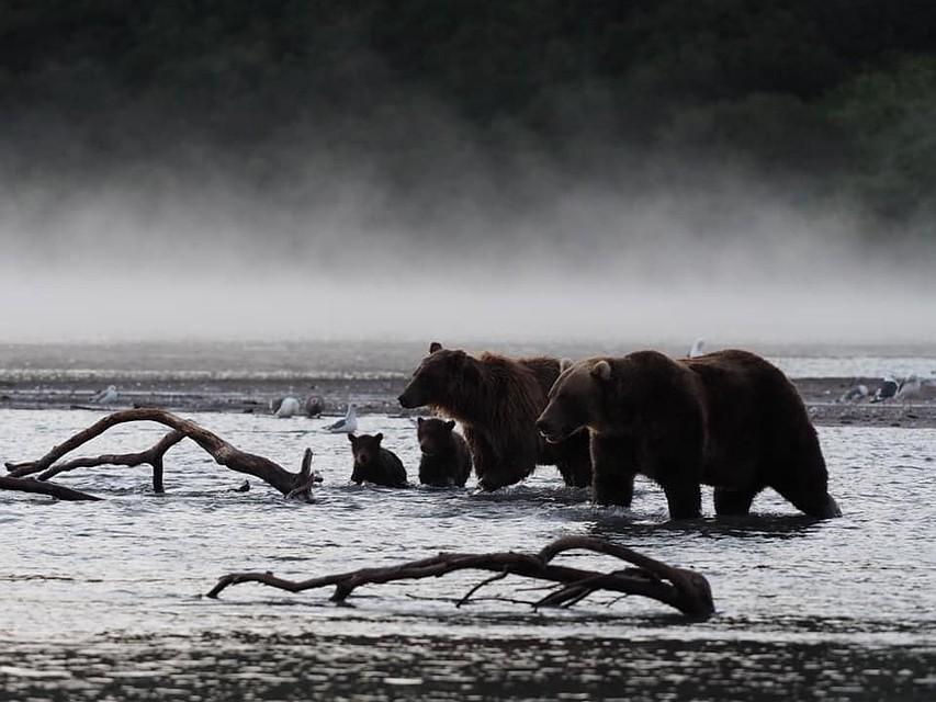 История начиналась с простой прогулки медвежьей семьи до устья реки в поисках рыбы. ФОТО: Владимир Омелин.