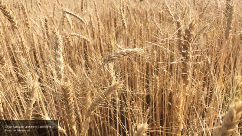 Россия может в третий раз побить рекорд по экспорту пшеницы в мире