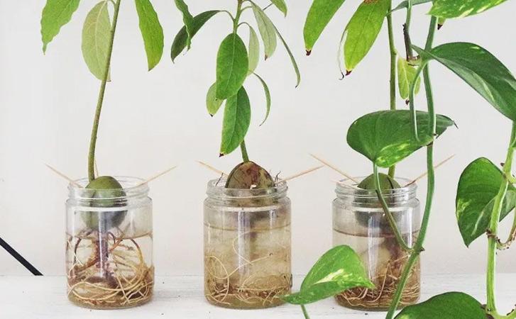 Выращиваем авокадо из косточки в горшке до размера дерева