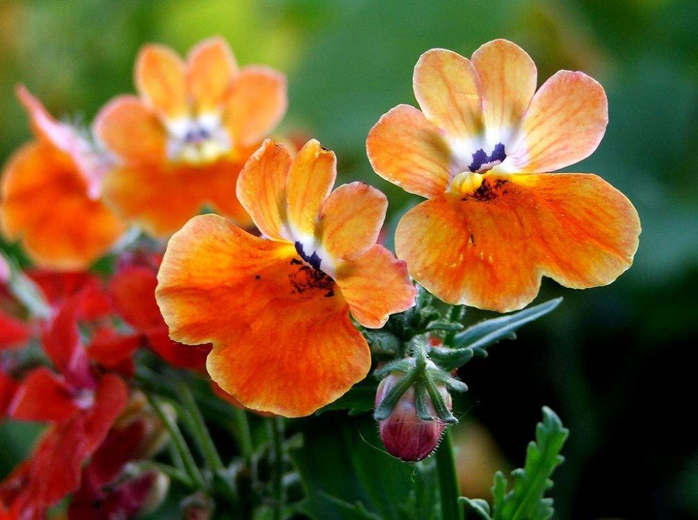 Немезия: размножение и выращивание