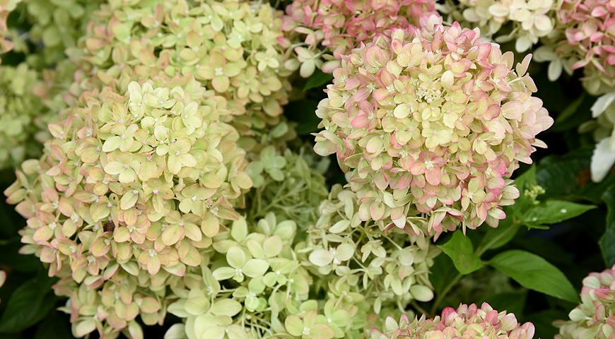 Сорта гортензии метельчатой самые красивые и устойчивые для посадки в саду дача,сад и огород,цветоводство