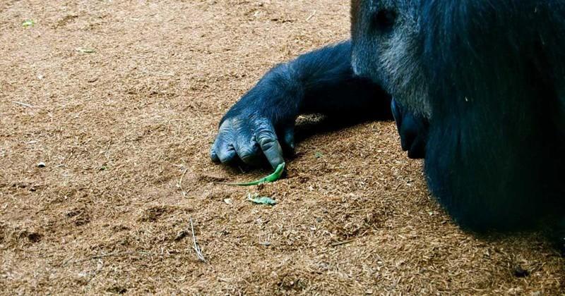 Доказательство того, что гориллы - нежные гиганты