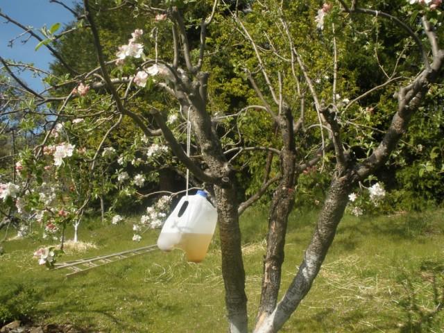 Как очистить сад от плодожорок