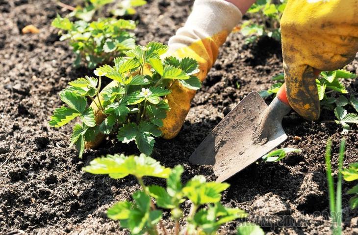 Почва для клубники: правильная подготовка грунта для посадки весной и осенью, видео и фото