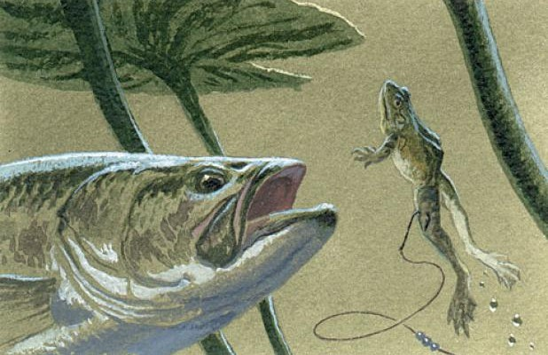 Ловля на лягушку: видео, ловля щуки, рыбалка на силиконовую, резиновую, искусственную, живую лягушку