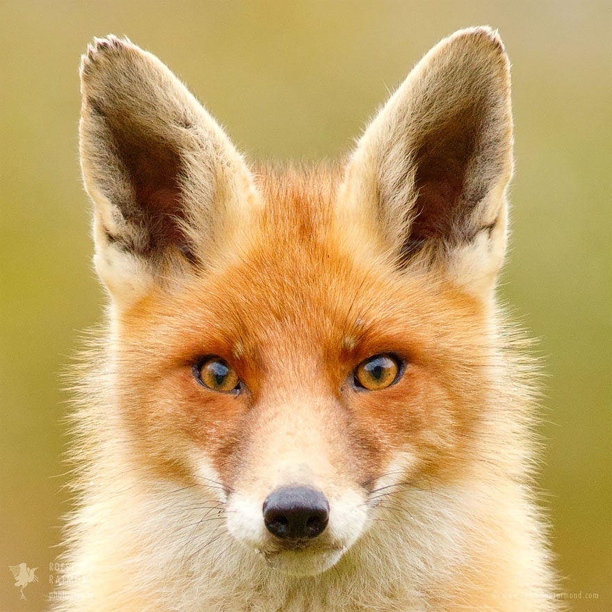 fox-faces-roeselien-raimond-orange
