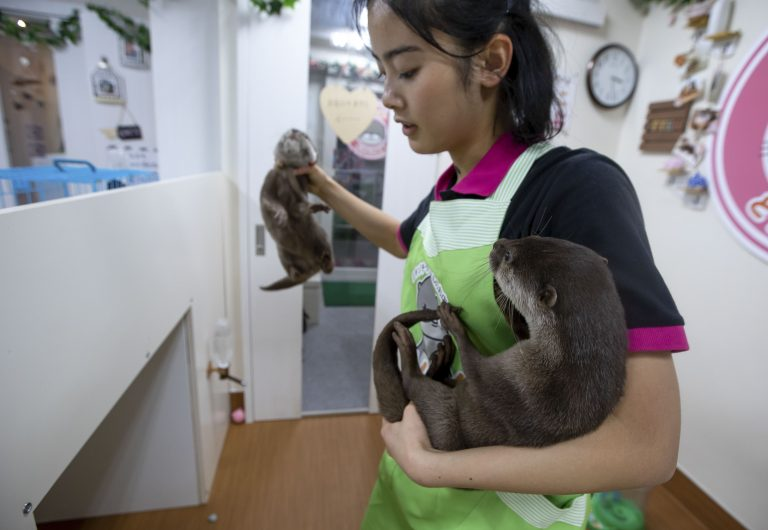 Новое жестокое развлечение японцев: кафе с выдрами в мире, дикая природа, дикие животные, жестокость, новости