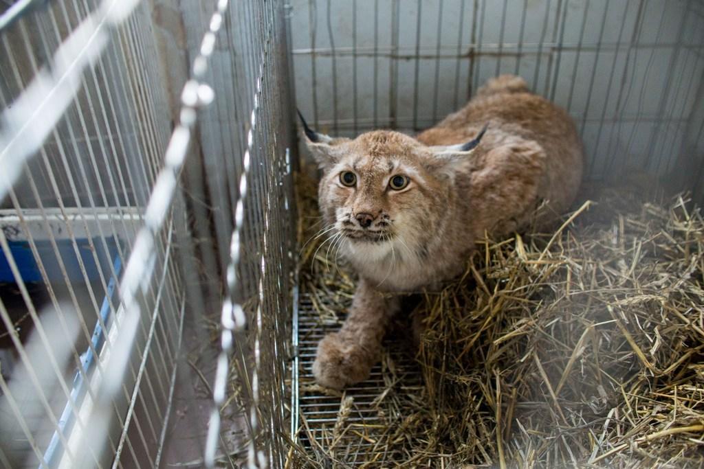 В Челябинске ветврач спас от смерти дикую рысь, а чиновники заставляют его за это заплатить!