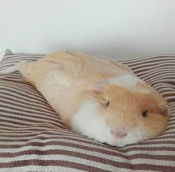 Эта растекшаяся по дивану морская свинка растопит любое сердце! животные, расслабленность, смешно, фото