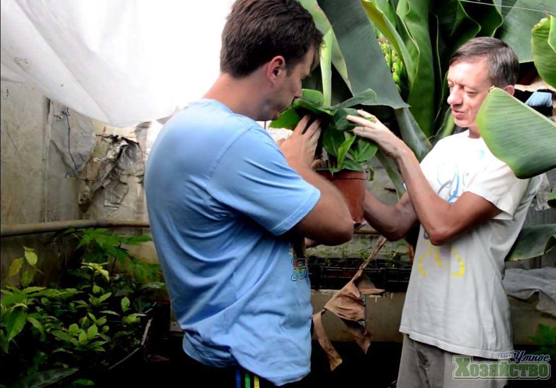 Как размножаются бананы