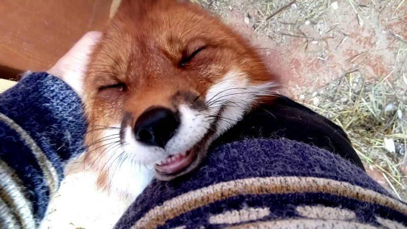 Только взгляните, как мило встречают лисички свою хозяйку. Уровень милоты зашкаливает!