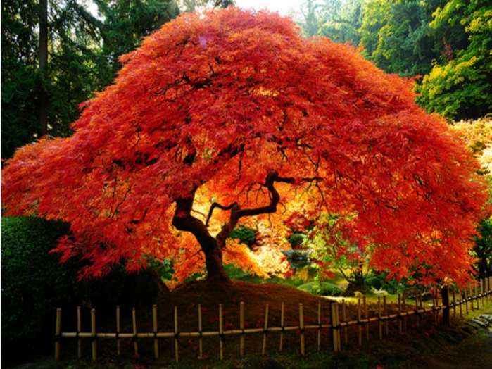 japanese-maple-in-full-colourjjpeg (800x624, 523Kb)