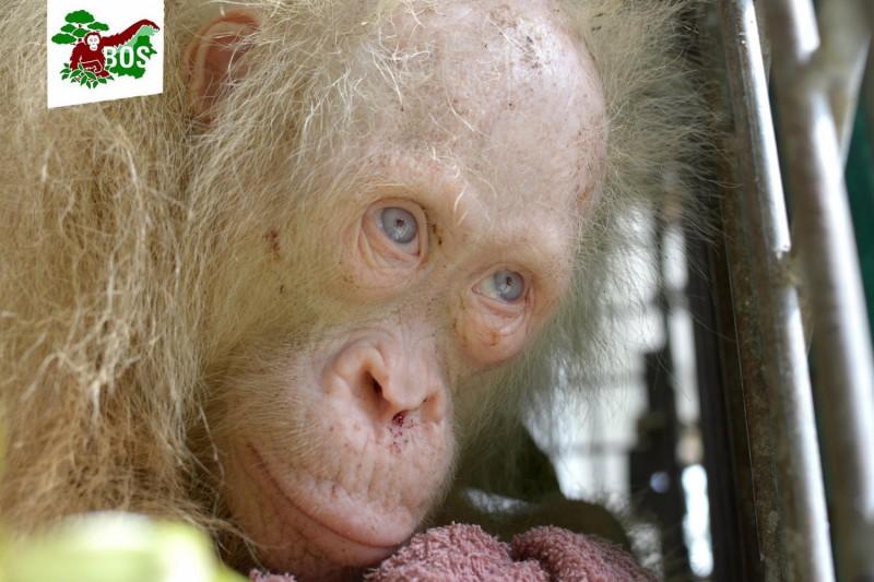В Индонезии спасли орангутана-альбиноса, взятого в плен местными жителями