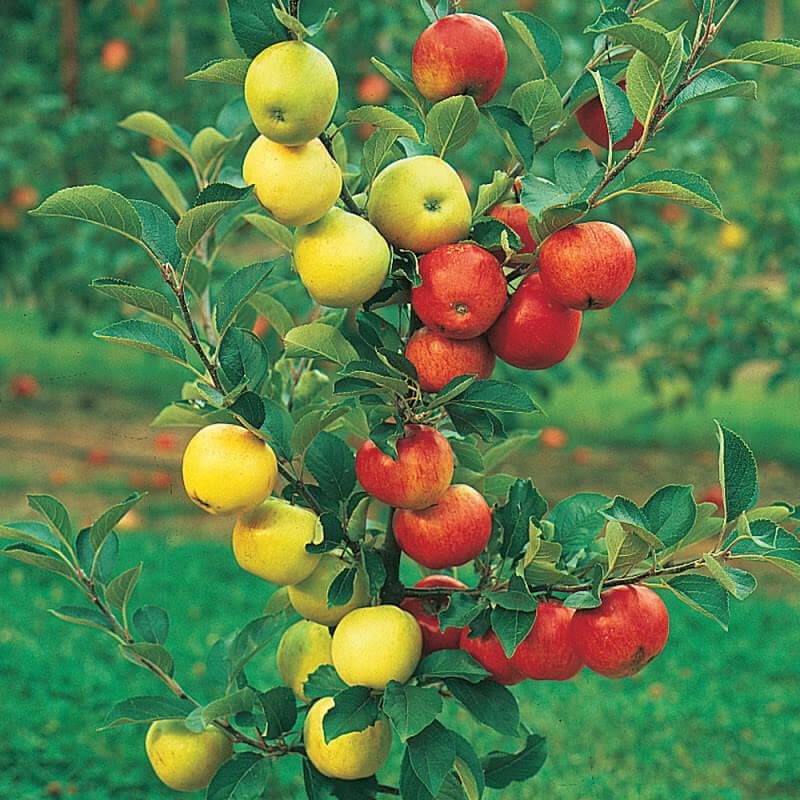 Как привить на одну яблоню несколько сортов. Садовое сияние: как сделать светящуюся дорожку в саду