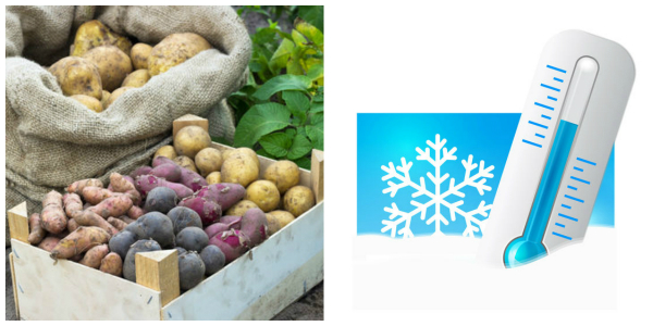 Как сохранить картофель в земле до весны