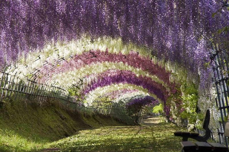 Сюрреалистический тоннель из глициний в Японии красивые места, красота, невероятные места, фото